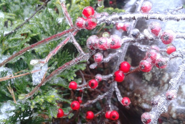 Enrobed Cotoneaster Berries