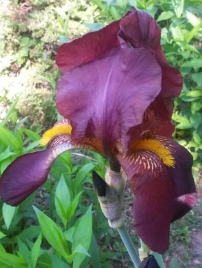Dark Burgundy Iris